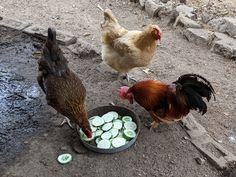 Summer Chicken, Gaucho, Cucumber Salad, Chickens Backyard, Buffy, Summer Salads, Chicken Salad, Acre, Zucchini