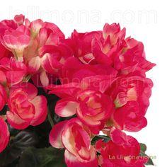 Planta artificial con begonias color cereza y hojas. Altura: 24 cms. http://www.lallimona.com/online/flores-y-plantas-artificiales/