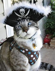 Spangles the cross eyed cat in his pirate hat, would fit right in at Fantasy Fest Key West.