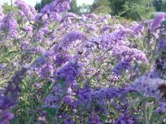 Google Image Result for http://www.american-farms.com/photogallery/buddleia%2520060704.jpg