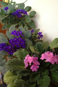 African Violets, remind me of Mom, and her Mom. <3