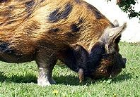 """Kunekunes make great pasture pigs being unique in their ability to graze and to do well on grass alone.  There is no need to """"supplement"""" them with commercial pig chow if they are on pasture enough to sustain them meeting their nutritional requirements."""