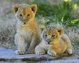 Lion cubs by ucumari Young Animals Photographs Big Cats, Cats And Kittens, Cute Cats, Zoo Animals, Cute Baby Animals, Animals Images, Wild Animals, Pumas Animal, Beautiful Cats