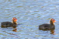 Two coot chicks taken on Doffcocker Lodge, Bolton. Call Backs, Birds, Nature, Naturaleza, Bird, Nature Illustration, Off Grid, Natural
