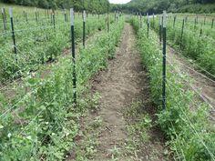 Pea Pick Annoucement   Vermont Valley Community Farm