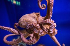 Why the Octopus Lost Its Shell