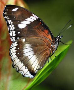 Butterfly of Thailand