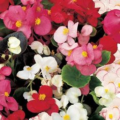 Multicolor Begonia in Tray at Lowe's. This easy-to-grow annual does well in a variety of conditions and needs little to thrive. Provide it with light shade, rich well-drained soil, ample Decorative Hanging Baskets, Decorative Planters, Perennial Flowering Plants, Perennials, Winter Plants, How To Attract Hummingbirds, Water Wise, Begonia, Garden Planning