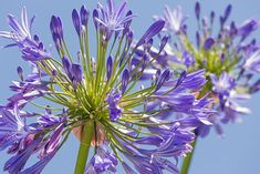 10 Amazing Facts Of Agapanthus Peter Pan - African Lily Shade Garden, Garden Plants, Peter Pan, Agapanthus Plant, African Lily, Tropical Garden Design, Green Backgrounds, Container Gardening, Fun Facts