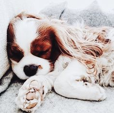 This is just here because I love dogs more than you could even imagine (My favorite is the Cavalier King Charles Spaniel) Puppies And Kitties, Cute Puppies, Cute Dogs, Doggies, Funny Dogs, Cavalier King Charles Spaniel, King Charles Puppy, Baby Animals, Cute Animals