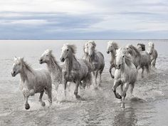Wild Horses, France. Photograph by Marco Carmassi.