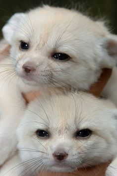 I used to have a Fennec fox. His name was todd. They are awesome animals.  But sleep quite a bit during the day.