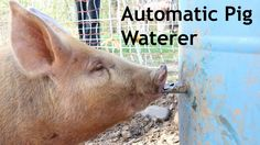 Automatic Pig waterer How we built this self waterer using a 55 gallon drum and a water nipple.