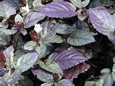http://www.jardineiro.net/plantas/hera-roxa-hemigraphis-alternata.html