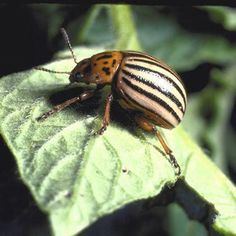 Potato Beetles are a problem, but you can get rid of them. These organic methods to get rid of potato beetles will keep your garden pest free. Garden Insects, Garden Pests, Tomato Growers, Tomato Seedlings, Tomato Farming, Insect Pest, Veg Garden, Garden Fun, Organic Gardening Tips