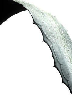 STILL (mary jo hoffman)   agave