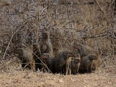 A family of Banded Mongoose in the Kruger National Park