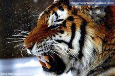 Tigre de Bengala no veneno
