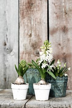 Frühblüher, spring blossoms - Another! Garden Bulbs, Garden Pots, Flowers Nature, Beautiful Flowers, Flower Vases, Flower Arrangements, Steep Gardens, Cactus, Pot Plante