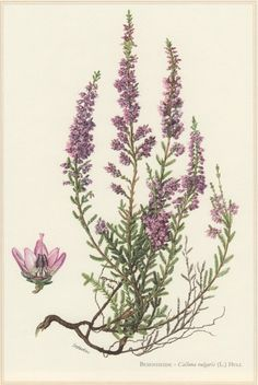 1960 Botanical Print Calluna vulgaris Heather by Craftissimo