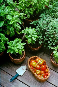 Tomatoes Gardening With Containers Potted Herbs.macetas sembradas de albahaca y tomates. - its been brutally cold lately. anxious for warmer temps and summer greens. summer, two years ago.
