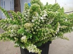 Spirea, Snowmound - Wholesale Flowers for weddings and events – Wholesale Florist – Floral, Floral Supply, Flower Distributor, #Spirea