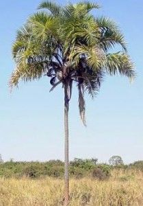 Guariroba (Syagrus oleraceae (Mart.) Becc., Arecaceae (Palmae)) Origem: Brasil – regiões Sudeste e Nordeste