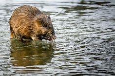 A Muskrat enjoys a bite to eat in the Fox River in Waukesha, WI USA.