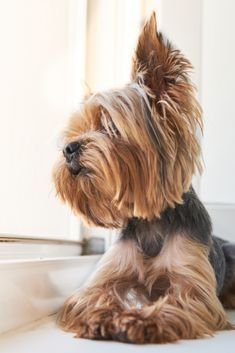 Do you know about Yorkshire Terriers? by L&G PET Photo by Pixabay from Pexels The Yorkshire Terrier originally originate. Dog Training Methods, Basic Dog Training, Dog Training Techniques, Training Dogs, Yorkies, Yorkie Dogs, Yorshire Terrier, Puppy Obedience Training, Positive Dog Training