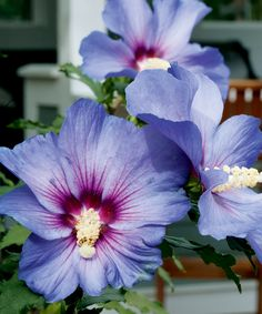 Plant profile: Rose of Sharon - Canadian Gardening