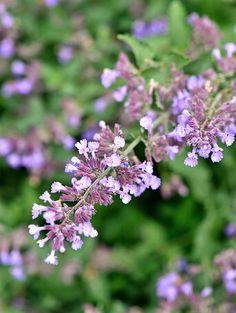barrenwort Perennial Geranium, Cottage Garden Plants, Boxwood Garden, Meadow Garden, Flowers Perennials, Perrenial Flowers, Ornamental Grasses, Day Lilies, Shade Garden