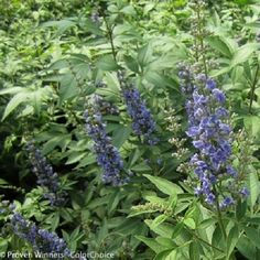 "Blue Diddley Chaste Tree - 4"""" Pot- Vitex agnus-castus ''SMVACBD'' ppaf; cbraf"
