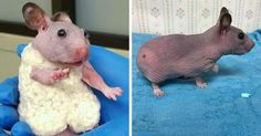 Abandoned Hairless Hamster Gets A Tiny Sweater To Protect From Cold - Meet Silky, the hairless hamster who just got dropped off at a shelter after her owners decided to move and had to leave her behind. Despite her dif. Hairless Rat, Hairless Animals, Ugly Animals, Cute Animals, Different Types Of Dogs, Pet Rats, Rodents, Hamsters, Bored Panda