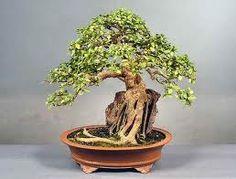 Bonzai Tree Seeds