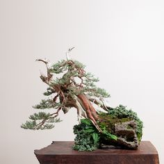Sierra Juniper No. 4 | Bonsai Mirai