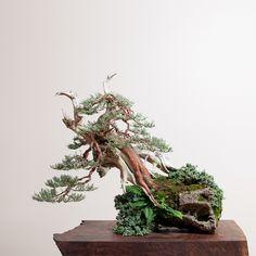 Sierra Juniper No. 4 | Bonsai Mirai