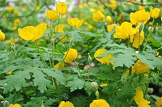 "Celandine poppy or golden wood poppy is one of the easiest wildflowers to grow. Native to eastern moist woodlands & hillsides, it has large yellow blooms in April & May. 12-16"" tall by 12"" wide in humusy soil in part to full shade. May seed about a bit unless deadheaded. Lovely with Virginia bluebells. z. 4-8"