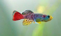 Killifish_Nothobranchius guentheri 'zanzibar' by Adilson Borszcz