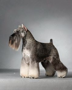 cut for schnauzer