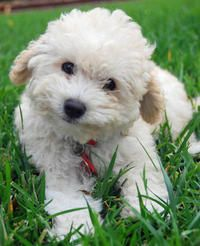 Olive the Poodle puppy - looks like a smile to me!