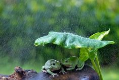 Two frogs were snapped using a leaf as an umbrella in Indonesia as they snuggled together to escape the rain. But when their clever ploy seemed to fail one frog climbed onto the other. Tornados, Frog Song, Foto Macro, Smell Of Rain, Take Shelter, Learn Mandarin, Chinese Language, Natural Disasters, Rainy Days