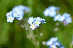 Coloriage Fleur Myosotis.21 Meilleures Images Du Tableau Fleurs De Saison Myosotis Blue