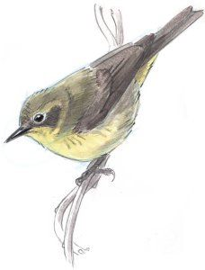Pencil Drawing Techniques How to Draw an Orange-crowned Warbler step-by-step - John Muir Laws - Learn how to draw a bird with this step-by-step tutorial using pencil and watercolor. Pencil Drawings For Beginners, Watercolor Paintings For Beginners, Simple Canvas Paintings, Pencil Drawing Tutorials, Watercolour Tutorials, Watercolor Art, Bird Paintings, Art Tutorials, Animal Sketches