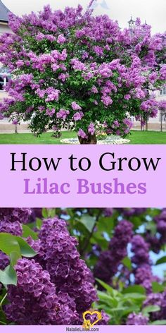 How To Grow a Lilac Bush for Beautiful Blooms in the Spring #a #a #Spring<br> Lilac Bushes, Spring Garden, Plants, Beautiful Blooms, Succulents Garden, Organic Gardening Tips, Beautiful Flowers, Beautiful Gardens, Garden Plants