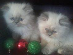 Himilayan and Persian Kittens