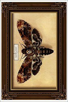 Death's Head Moth (12x18 Art Print) Lantern Press http://www.amazon.com/dp/B00N5CE92K/ref=cm_sw_r_pi_dp_JVY7ub0V3GX67