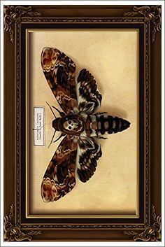 Death's Head Moth (12x18 Art Print) Lantern Press http://www.amazon.com/dp/B00N5CE92K/ref=cm_sw_r_pi_dp_JVY7ub0V3GX67