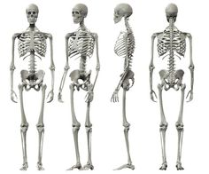 For height gain to take place, the human bones must elongate and grow. The bones are the most important factor in human vertical growth. The inner palates must allow for growth and development.