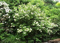 Viburnum dentatum--for woodland edge on left eastern side of property