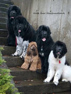newfoundlands | Pinned by Becky Notta Bear Newfoundlands